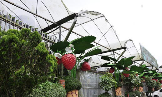 strawberry farm 2